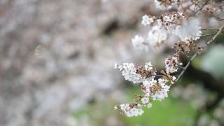 2020년 일본 벚꽃 개화시기 - 일본인이 추천하는 일본 전국의 벚꽃명소 안내