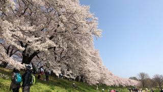京都賞櫻壓倒性名所 淀川河川公園背割堤
