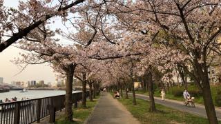 大阪 大川賞櫻花 黃昏的悠閒散步
