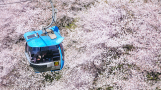 벚꽃나무 1,000그루의 핑크빛 테마파크 요미우리랜드(YOMIURILAND)