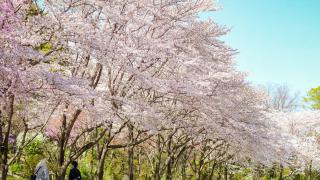 想賞櫻也想大口呼吸  不想跟其他觀光客人擠人的東京櫻花景點小抄
