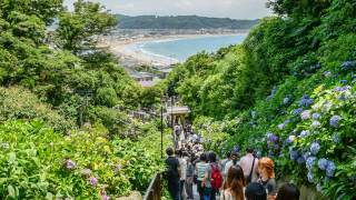 Japan's Island of Hydrangeas: The 5 Best Places to See The Flowers of Enoshima Island,...