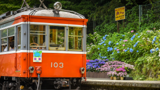 The Hakone Hydrangea Train: A Trip for Flower and Railway Lovers Alike