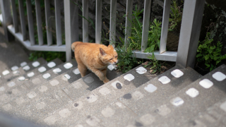 Why are there so many cats in Enoshima?