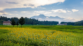 The Yellow Fields of Sunflower at Joetsu Myoko APA Resort