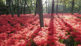 這個秋天,不如讓「曼珠沙華」作為你日本紅葉之旅的序幕