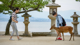☙ Fall Foliage 2019 ❧ Chugoku - The Deer & The Maples of Miyajima