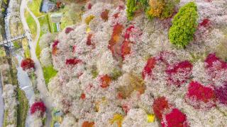 日本秋天也能賞櫻?紅葉與櫻花相間油畫絕景:豐田小原四季櫻