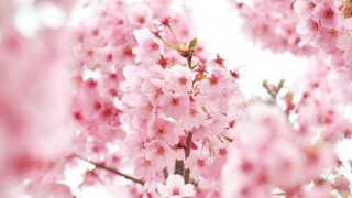 Early Blooming Cherry Blossoms Have Been Sighted in Boso Peninsula, Chiba Prefecture