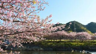 2020日本櫻花季:2月開跑的伊豆河津櫻祭典
