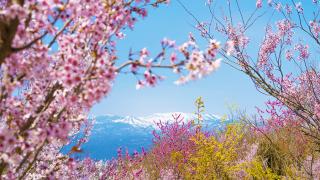 Khám phá Tohoku mùa Sakura với 2 hành trình tiết kiệm