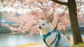일본 시바견 쿠루키의 일본이야기