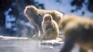 The Onsen-Loving Snow Monkeys of Jigokudani Monkey Park