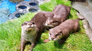 May 27th Was World Otter Day, and Japanese Aquariums Brought it Online