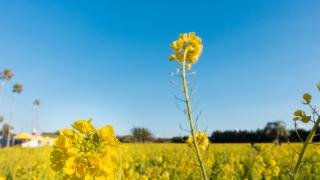 日本春賞花:渥美半島油菜花海景點與戀人聖地戀路之濱