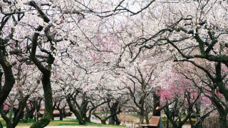 Ibaraki's Kairakuen Garden ・ An Early-Spring Wonderland of Plum Blossoms and Festival Fun