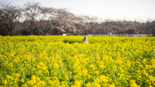 Cherry Blossoms, Canola Blooms, and Bleating Sheep at Narita Dream Farm