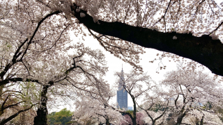 Shinjuku Gyoen Hanami During the COVID-19 Pandemic ・ Online Reservations & Cherry Blossoms
