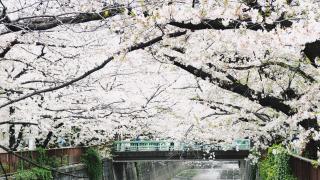 東京賞櫻名所中目黑  從目黑川櫻花道歷史說到櫻花危機