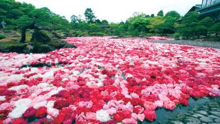 池泉牡丹花絕景!島根春日賞花名所  由志園牡丹園遊會