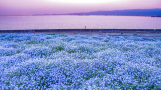 Osaka's Most Famous Nemophila Spot ・ Baby Blue Eyes in Osaka Maishima Seaside Park