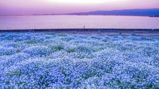 關西新粉蝶花名所:大阪舞洲海濱公園 碧海藍天與琉璃色粉蝶花海