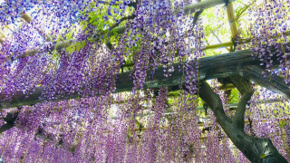 Top 3 Places to See Wisterias in the Tokyo Area This Spring