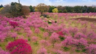 桃花成林能量地!茨城古河公方公園桃花祭  日本春日賞花旅