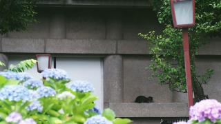 Tokyo's Hakusan Shrine ・ June Hydrangeas, Rainy Season Drizzles, and Stray Cats