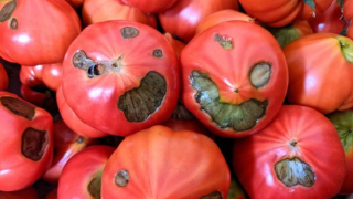 Don't Judge a Book by Its Cover, or a Tomato by Its Dark Spots - These Japanese Tomatoes...