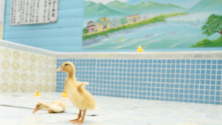 Forget Rubber Duckies, Take a Bath with Real Ducks in this Saitama Bathhouse
